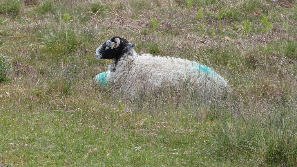 Sheep at Goathland.JPG